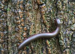 Creepy Crawlie (elliemae224) Tags: canon bug legs creepy millipede crawlie andmorelegs