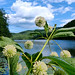 Buttonbush beside Eagle Lake. Photo: Ed Burke, Saratoga Springs, NY