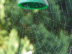 bejewelled (Martha-Ann48) Tags: garden spider droplets web arachnid silk dew trap circular spun bejewelled