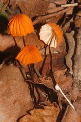 Marasmius siccus?, Bukhansan National Park (), Seoul, South Korea (Damon Tighe) Tags: park summer mountains outdoors asia hiking south korea national seoul np marasmius  bukhansan    siccus