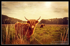 La Highland Cattle de la Robertsau