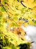 Maple (Danielle Bednarczyk) Tags: washington maple japanesemaple redmond wa