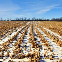 Southwestern Ontario near Ayr - cornfield winter landscape. (edk7) Tags: winter sky snow ontario canada field rural landscape cornfield farm country row crop ayr 2010 d60 edk7