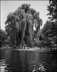 Willow, Boston Public Garden (Roberto Novicini) Tags: bw lake water boston 35mm blackwhite interesting pond picnic hc110 rangefinder contax willow swanboats contaxt3 publicgarden urbanpark bostonpublicgarden fomapan100 bwfp