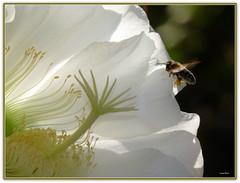 "Fiore di cactus "" trichocereus"" (Schano) Tags: cactus flower macro mediterranean mediterraneo cactaceae fiore macrofotografia trichocereus macrofotografias coglilattimo fioripiantegrasse fioredicactus photonatura fz28 dmcfz28 panasonicfz28 saariysqualitypictures panasoniclumixfz28"