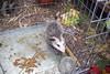 baby Opossum (samonberry) Tags: possum pet baby oregon opossum tame
