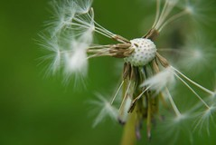 Make A Wish (FVPhotography) Tags: park flower colour macro green up close victoria uo wish southport dandilion