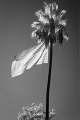 US Flag on Palm Tree (kukkurovaca) Tags: bw flags palmtrees infrared santaclara 5d lifepixel 105mmf25k thanksgiving2013 agatedrive