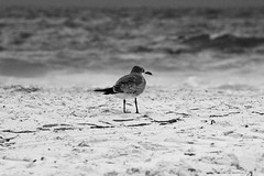 Feathers from Farewells (ge_calderon) Tags: ocean blue sea white black color bird beach nature birds canon mar sad feather playa aves gaviotas oceano farewells