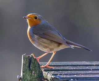 Robin (Explored)
