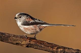 Long tailed tit (Aegithalos caudatus)