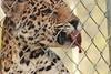 Cat and Mouse (Chicago John) Tags: world park cats oregon great junction cave jaguar greatcatsworldpark cavejnction