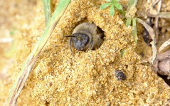 Colletes cunicularius f - 02 III 2014 (el.gritche) Tags: hymenoptera france 40 colletidae colletes cunicularius march bee abeille