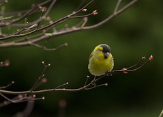 Siskin (jamesmcentee560) Tags: trees winter light colour green bird yellow spring small ngc finch colourful siskin autofocus greatphotographers avaible dragondaggeraward dragonswordaward infinitexposure