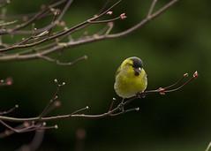 Siskin (jamesmcentee560) Tags: trees winter light colour green bird yellow spring small ngc finch colourful siskin autofocus greatphotographers avaible dragondaggeraward dragonswordaward infinitexposure