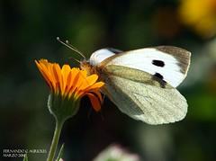 ART52774 (F. Aurioles) Tags: butterfly andaluca mariposa jan