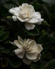 White Rose 032214 IMG_0269 (Orkakorak) Tags: lighting white rose shadows favescontestwinner storybookwinner