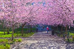 The spring sakura moment (Sina Farhat) Tags: light people green canon göteborg spring raw purple sweden bokeh folk lila cherryblossom sakura sverige vår 031 grön ljus gothenborg 50d skärpedjup övrehusargatan blommandeträd canon3580456 photoshopcc