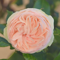 Rose (Le pot-ager) Tags: fleur rose plante fleurcultive