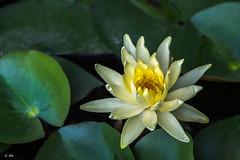 Lotus (SSO11) Tags: fleur plante de noir lotus nnuphar fond nenuphar