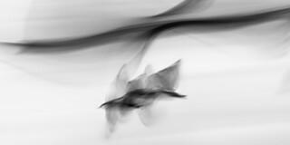 Seagull Study 126