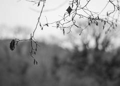 A Winter's Day (Shastajak) Tags: handheld pentax k3 pentaxk3 1971supermulticoatedtakumar11855 takumarf18 55mm m42 bokeh monochrome blackandwhite trees catkins winter damp raindrops