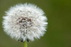 Make a Wish. (LisaDiazPhotos) Tags: dandelion make wish lisadiazphotos nature