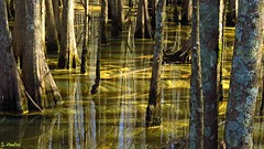 Swirls (Suzanham) Tags: water pollen swirls swamp cypress swampwater nature trees mississippi noxubeewildliferefuge patterns light canonpowershotsx60hs reflections