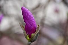 Bent on rain (Pejasar) Tags: oklahoma tulsa 2017 spring bloom bud blossom tuliptree magnolia tree flower waterdrops wet rain