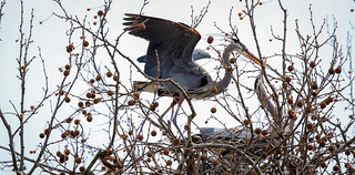 Couple | Great Blue Heron (Ardea herodias)