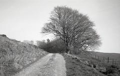 beeches (OhDark30) Tags: olympus 35rc 35 rc film monochrome bw blackandwhite fomapan 200 rodinal bwfp trees beech lane sky country countryside spring