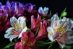 Light Through the Window (Jewel Appletor aka Karalyn Hubbard) Tags: flowers photo photography staging spring alstroemeria filteredlight garden cutflowers mothernaturesbeauty