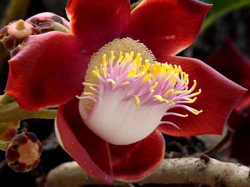 Flor de Couroupita guianensis