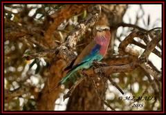 LILAC - BREASTED ROLLER (Coracias caudata).....MASAI MARA.....SEPT 2016 (M Z Malik) Tags: nikon d3x 200400mm14afs kenya africa safari wildlife masaimara kws exoticafricanwildlife exoticafricanbirds ngc npc