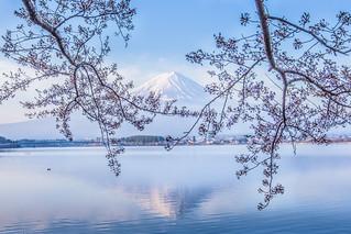 Mt. Fuji in Spring 逆さ富士と桜