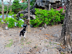 ,, Legs & Monkey ,, (Jon in Thailand) Tags: swamp nature dog k9 monkey primate alphamonkey jungle spirithouse nikon nikkor d300 175528 monkeytemple playfight fight realfight legs red green pink trees boulders rocks monkeys primates madmonkey littledoglaughedstories