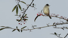 Photo of Blackcap with berries 1a