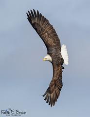 Banking Bald Eagle (BirdFancier01) Tags: nature raptor banking flight iowa leclaire mississippiriver birdofprey