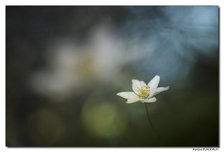 Anémone des Bois - Anemone Nemorosa #2