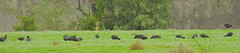 6 Porphyrio melanotus, 40 Fulica atra (Diana Padrón) Tags: australia victoria bird ave birds aves nature naturaleza australasian swamphen porphyrio melanotus