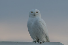White ghost (Peter Stahl Photography) Tags: snowy snowowl owl spring
