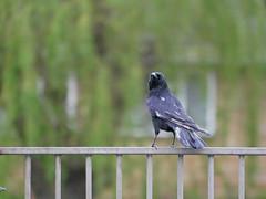 Scruffy crow (Matt C68) Tags: bird moulting moult molting molt crow