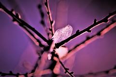 purple memories... (martinap.1) Tags: purple violett frozen ice nikon sigma105mmmacro makro