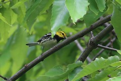 Black-throated Green Warbler - Setophaga virens - Hamilton County, Ohio, USA - May 20, 2013 (mango verde) Tags: ohio usa bird yard migration warbler virens migrant hamiltoncounty blackthroated parulidae setophaga newworldwarblers blackthroatedgreenwarblersetophagavirens