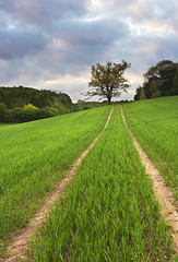 The Farmers Field (Cottee4) Tags: summer tree field corn grow tracks seed farmer sow summerfield farmersfield sowing tractortracks greencorn