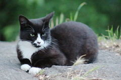 feral tuxedo cat in Morningside Park feeding (hshuldman) Tags: new york nyc morning wild urban west eye abandoned nature amsterdam animal cat canon photography rebel drive eyes kitten feline bokeh harlem manhattan side broadway parks harry kitty upper domestic telephoto purr stray meow greater 75300mm dslr morningside catseye uws feralcat feral felis hiss t3i catseyes telefoto nycparks carnivora felidae nycpark caturday shuldman hshuldman harryshuldman