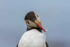 Perfectionist (James Shooter) Tags: sea portrait coast scotland native feathers coastal puffin seabird atlanticpuffin fraterculaarctica auk ukwildlife