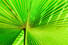 Anahaw (Chassagne Yaoyao) Tags: abstract green nature palm abstraction rizal montalban footstool avilon anahaw luyong saribus rotundifolius
