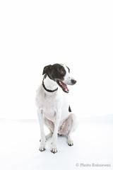 G36B7930 (Photo Ruisseaux) Tags: portrait dog canon studio eos bolton usm ef2470mmf28lusm horwich lurcher sekonic l308s 5dmk3 5dmarkiii
