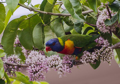 the nectar hunters - rainbow lorikeet in a eurodia tree (Explore, 9/6/2013) (Fat Burns) Tags: flower bird fauna rainbow parrot pinkflower nectar rainbowlorikeet bluey australianbird australianfauna australianparrot birdeatingnectar euodiatree euodiaflower